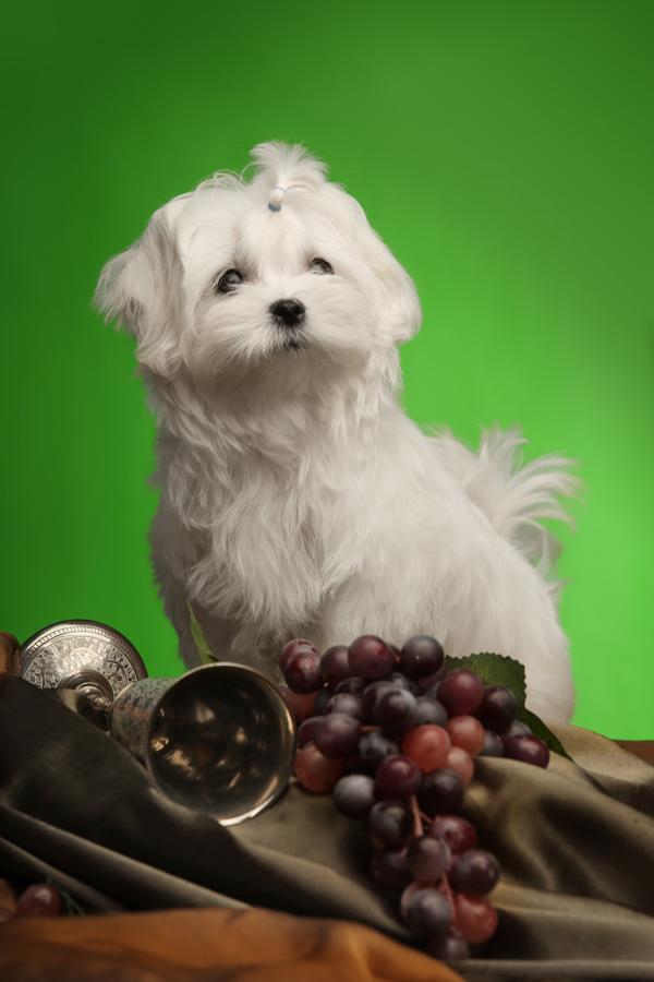 купить щенка мальтийской болонки мини